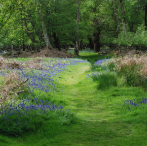 A grassy woodland path edged with bluebells