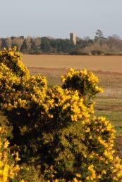 Bright yellow gorse bush