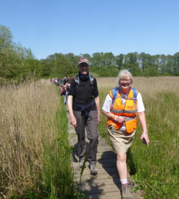 A walk leader in an orange high-vis vest leading a line of walkers on a wooden boardwalk through a reedbed on a sunny day
