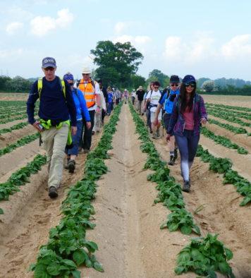 Two lines of walkers walking through a field between rows of vegetables